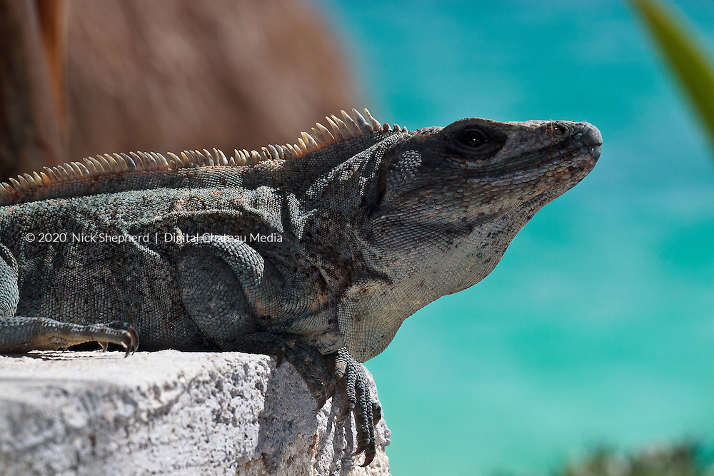 A Mexican Spiny-tailed Iguana (Ctenosaura pectinata) perched on a wall by the beach in the Sian ka'an Biosphere Reserve. Yucatan Peninsular, Mexico.