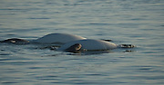 "Kids Save Baby Beluga Whale Who Washed Up On Shore <br /> <br /> While vacationing on the shores of the St. Lawrence River, in Canada, a family received an unexpected visitor: a baby beluga whale. The calf, a female who was likely born just hours earlier, had lost her mother. The boys who had stumbled upon her scrambled to save her life. <br /> <br /> ""We dug a hole so that water would accumulate and its skin would hydrate,"" 15-year-old Nicholas Milliard, who first found the calf with his younger brothers, told CBC News. ""Every five minutes we got it a bucket of water. The water level was dropping, and it was becoming more and more difficult to get water."" <br /> <br /> It doesn't happen very often that humans meddle with sea life and save a life — too often we've see the opposite happen. But in this case, the Quebec family was able to stabilize the baby beluga until help could arrive.<br /> Researchers with the Group for Research and Education on Marine Mammals (GREMM) arrived to carefully move the ailing baby back into the waters, near another pod of beluga whales <br /> <br /> The hope, as GREMM president told Le Devoir, was that one of the other females might be induced to feed her. Sadly, most recent reports suggest it has not yet happened — which makes the situation particularly precarious for the baby beluga.<br /> <br /> Beluga whales nurse their young for around two years. This baby, just days old, is desperately in need of a lactating mother to give her a vital start in life.<br /> <br /> ""For now, we do not yet know the outcome of the story,"" Michaud told Le Devoir.<br /> <br /> The calf's survival is particularly vital, as the beluga whale population ebbs to unprecedented levels in the St. Lawrence region.<br /> <br /> The area, Michaud notes, once boasted thousands of beluga whales. Today, the population is estimated at less than 900. Much of that decimation, according to the World Wildlife Fund of Canada, is due to the river's rising pollution levels.<br /> <br /> But this baby beluga, at least, has a fighting chance. She held out on the beach for her young he"