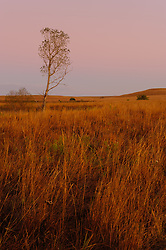 Prairie grasses, wildflowers, and a cottonwood tree are bathed in the dawn light moments before a fall sunrise at the Tallgrass Prairie National Preserve. The 10,894-acre Tallgrass Prairie National Preserve is located in the Flint Hills of Kansas in Chase County near the towns of Strong City and Cottonwood Falls. Less than four percent of the original 140 million acres of tallgrass prairie remains in North America. Most of the remaining tallgrass prairie is in the Flint Hills in Kansas. Tallgrass Prairie National Preserve is the only unit of the National Park Service dedicated to the preservation of the tallgrass prairie ecosystem. The Tallgrass Prairie National Preserve is co-managed with The Nature Conservancy.