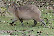 Apenheul is een gespecialiseerde dierentuin aan de rand van de Nederlandse stad Apeldoorn. De tuin ligt midden in het natuurpark Berg & Bos (200 ha). In Apenheul leven apen uit Afrika, Zuid-Amerika en Azië. De dieren leven er heel vrij: gaas of tralies ziet men er bijna niet. Sommige soorten lopen zomaar tussen de bezoekers rond. <br /> <br /> Op de foto: Capibara