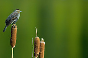 female Red-winged blackbird (Agelaius phoeniceus) on cattail in  Banff National Park<br />Banff National Park<br />Alberta<br />Canada
