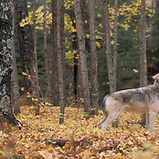 Gray Wolf, (Canis lupus) In hardwood forest of northern Minnesota, howling.  Captive Animal.