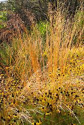 Molinia caerulea 'Edith Dudszus' with Rudbeckia fulgida var. deamii at Glebe Cottage in autumn. Design: Carol Klein