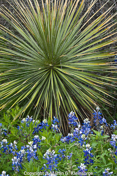 Buckley yucca (Yucca constricta) and Texas Bluebonnet (Lupinus texensis) found in the Texas Hill Country, Texas.