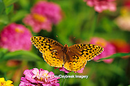 03322-009.09 Great Spangled Fritillary butterfly (Speyeria cybele) on Zinnia sp., Marion Co. IL