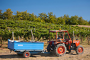 Man driving tractor with harvested San Giovese Chianti Classico grapes at Pontignano in Chianti region of Tuscany, Italy