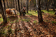 Romanian man using bullock to help him transport wood in a forest. Rural Transylvania