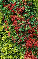 Taxus baccata 'Fastigiata Aureomarginata' - Irish Yew covered with Tropaeolum speciosum - Flame creeper