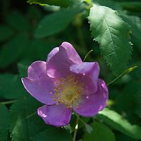 Wildfowers grow in the Madison Range of the Rocky Mountains, near Big Sky, Montana