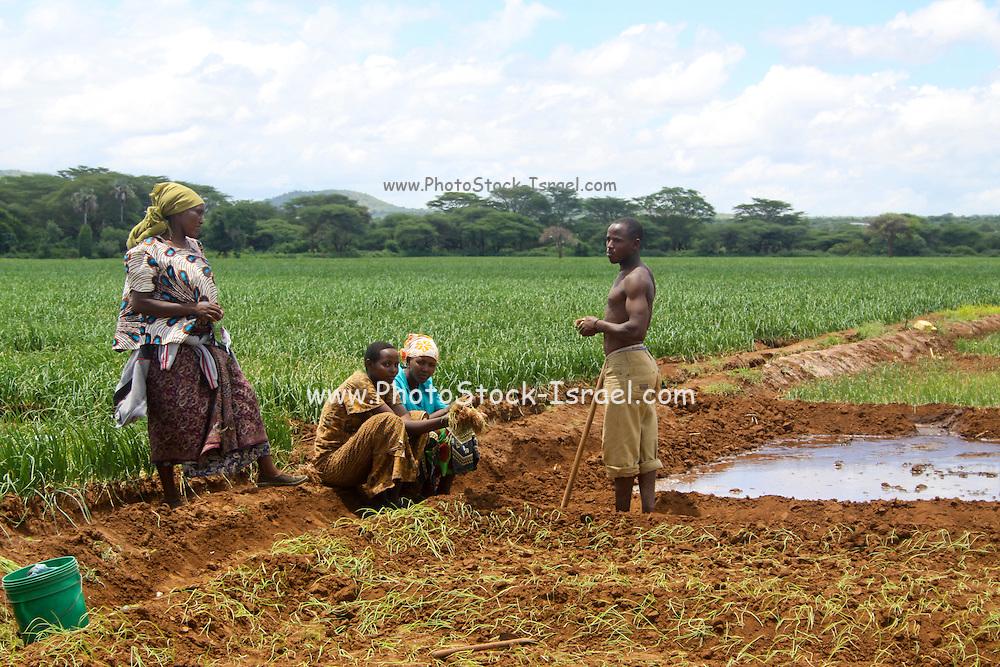 Africa, Tanzania, Lake Eyasi National Park onion farming Using field flooding for irrigation