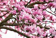 Magnolia campbellii x campbellii ssp mollicomata in The Valley Gardens, Egham, Surrey, UK