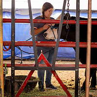 Tia Gonzales gets her steer ready to show during the Bi-County Fair Saturday in Prewitt.