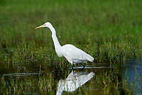 Great Egret (Ardea alba) hunting along edge of Lake Chapala, Jocotopec, Jalisco, Mexico