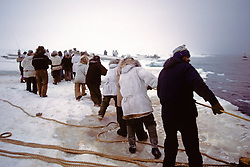 Pulling Whale At Whale Harvest