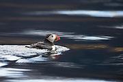 Puffin swimming in the ocean | Lundefugl som svømmer i sjøen.