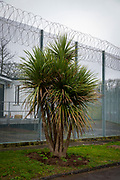 A palm tree in the grounds of HMP Downview, Surrey, United Kingdom. HMP Downview is a women's closed category prison for adult sentenced women and convicted and remand female young people located on the outskirts of Banstead in Surrey, England. (Picture credit: © Andy Aitchison)