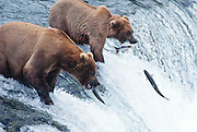 Alaska . Ursus Arctos . Katmai National Park . Grizzly bears in Katmai have a healthy diet of salmon. Brooks Falls salmon jumping , with two brown bears waiting.
