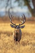 Trophy mule deer buck searches for a doe in estrus.