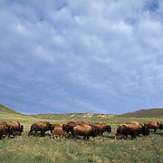 Bison, (Bison bison) Herd on grasslands. Montana.