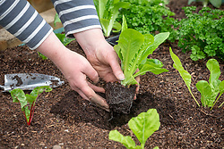 Planting out young Cos Lettuce plants - Lactuca sativa