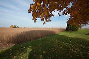 Iowa soybean field nearing harvest time.