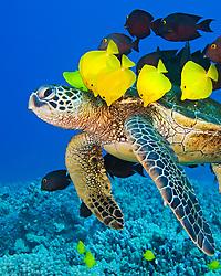 endangered species, green sea turtle, Chelonia mydas, being cleaned by yellow tang, Zebrasoma flavescens, endemic gold-ring surgeonfish, Ctenochaetus strigosus, and endemic saddle wrasse, Thalassoma duperrey, Kona Coast, Big Island, Hawaii, USA, Pacific Ocean