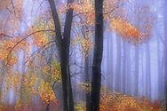 Beech tree in dawn mist<br /> <br /> Ben Hall - Tel: 0161 483 6311 Email: benhall@wildimages.demon.co.uk