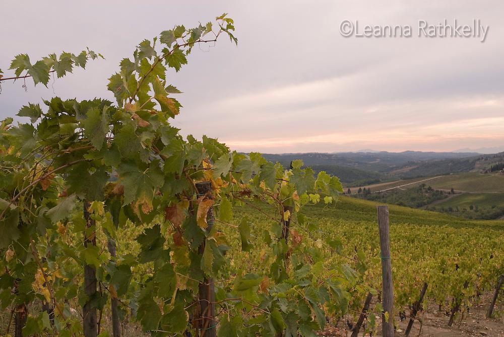 A vineyard at sunset, near Greve in Chianti, Tuscany, Italy.