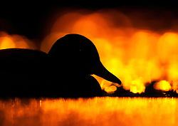 Mallard (Anas platyrhynchos) in late evening, Oslo, Norway