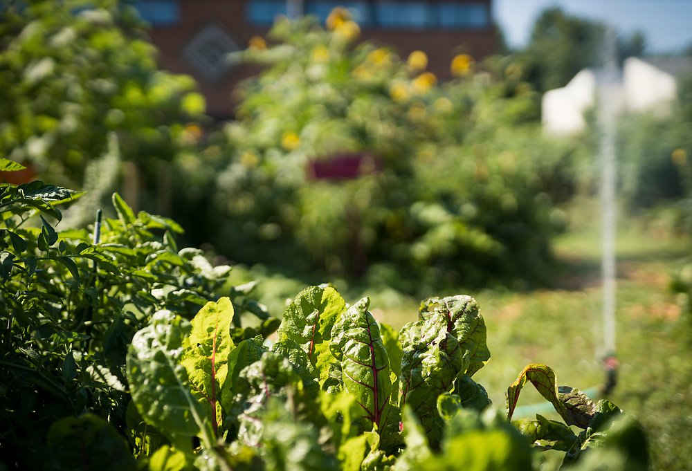 Vegetables, herbs and other medicinal plants are grown in the Mashkiikii Gitigan community garden near the Waite House Neighborhood Center in Minneapolis, Minnesota, U.S., on Friday, July 24, 2020. Photographer: Ben Brewer/Bloomberg