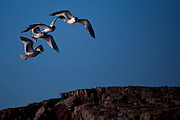 Xema sabini, Sabine's Gull, near Humbolt Glacier, Kane Basin, North West Greenland