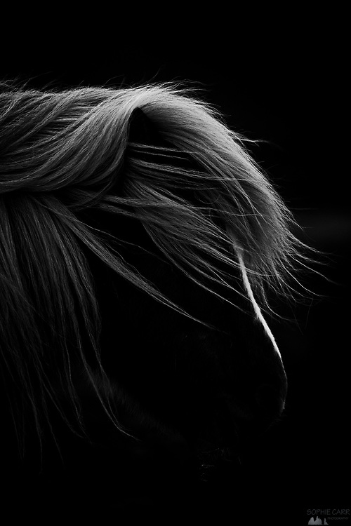 Black and white conversion of an Icelandic horse profile on a windy day in south-west Iceland