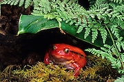 A female tomato frog (Dyscophus antongilii), a native of Madagascar.
