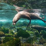 Galapagos sea lions (Zalophus wollebaeki), two, playing underwater off Isabela Island, Galapagos, Ecuador.