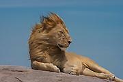 Male lion resting on  kopje (rock outcrop