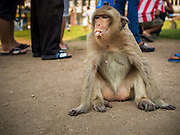 30 NOVEMBER 2014 - LOPBURI, LOPBURI, THAILAND: A long tailed macaque monkey sits in a crowd of tourists at Phra Prang Sam Yot in Lopburi. Lopburi is the capital of Lopburi province and is about 180 kilometers from Bangkok. Lopburi is home to thousands of Long Tailed Macaque monkeys. A regular sized adult is 38 to 55cm long and its tail is typically 40 to 65cm. Male macaques weigh around 5 to 9 kilos, females weigh approximately 3 to 6 kg. The Monkey Buffet was started in the 1980s by a local business man who owned a hotel and wanted to attract visitors to the provincial town. The annual event draws thousands of tourists to the town.    PHOTO BY JACK KURTZ