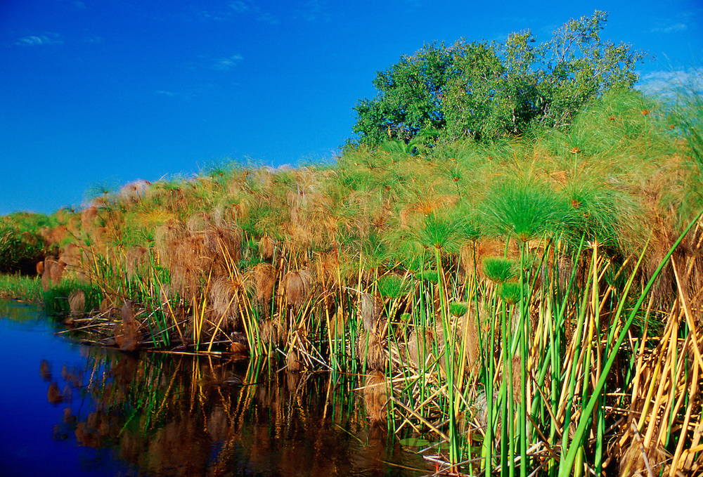 Papyrus and a water channel, Okavango Delta in Northern Botswana, Africa