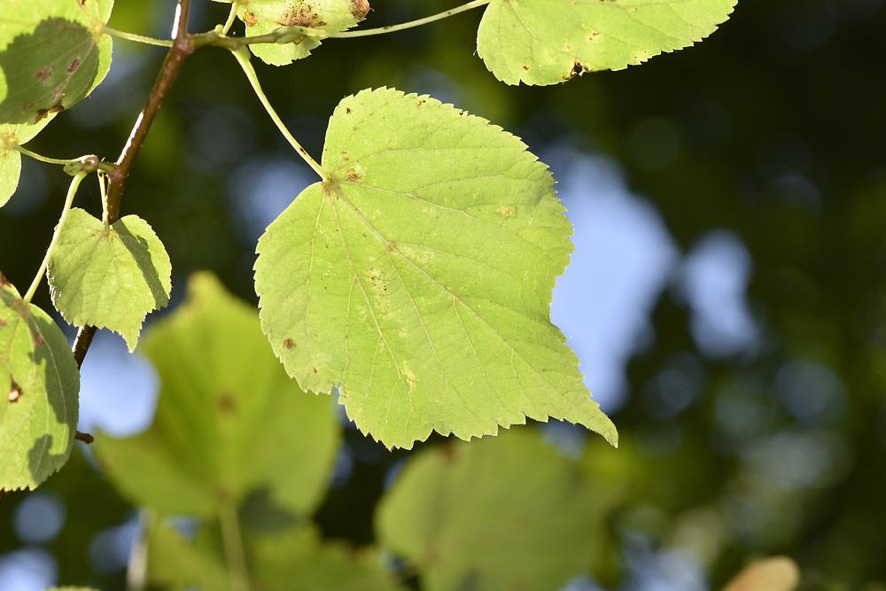 Small-leaved Lime - Tilia cordata