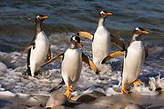 Gentoo penguins, Pygoscelis papua, coming ashore.