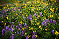 A field of yellow balsamroot and lupine wildflowers on Rowena Crest in the Columbia River Gorge on a cloudy Spring afternoon.