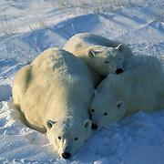 Polar Bear, (Ursus maritimus) Portrait of mother and cubs resting. Churchill, Manitoba. Canada.