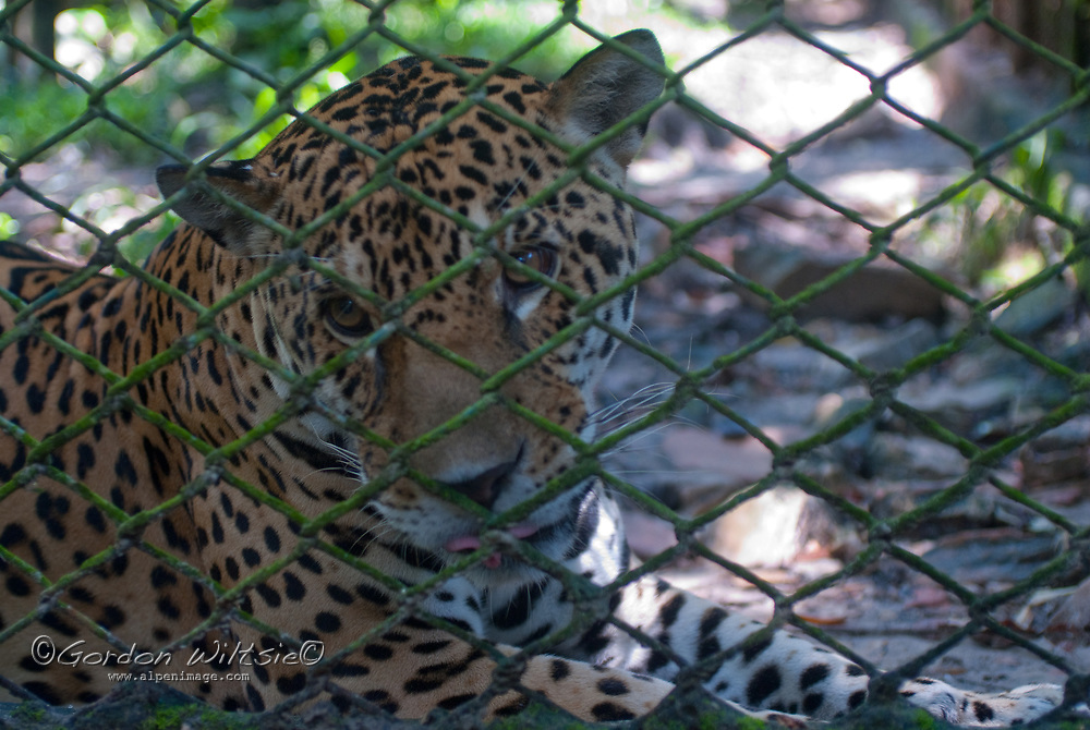 A jaguar rests in its cage at Pilpintuwasi Butterfly Farm and Amazon Animal Orphange near Iquitos, Peru.