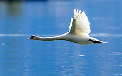 THEMENBILD - ein Hoeckerschwan im Flug, aufgenommen am 30. April 2016, am Zeller See, Zell am See, Oesterreich // a Mute Swan in flight above the Lake Zell, Zell am See, Austria on 2016/04/30. EXPA Pictures © 2016, PhotoCredit: EXPA/ JFK