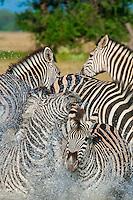 A herd of zebra at a watering hole, Nxai Pan National Park, Botswana.