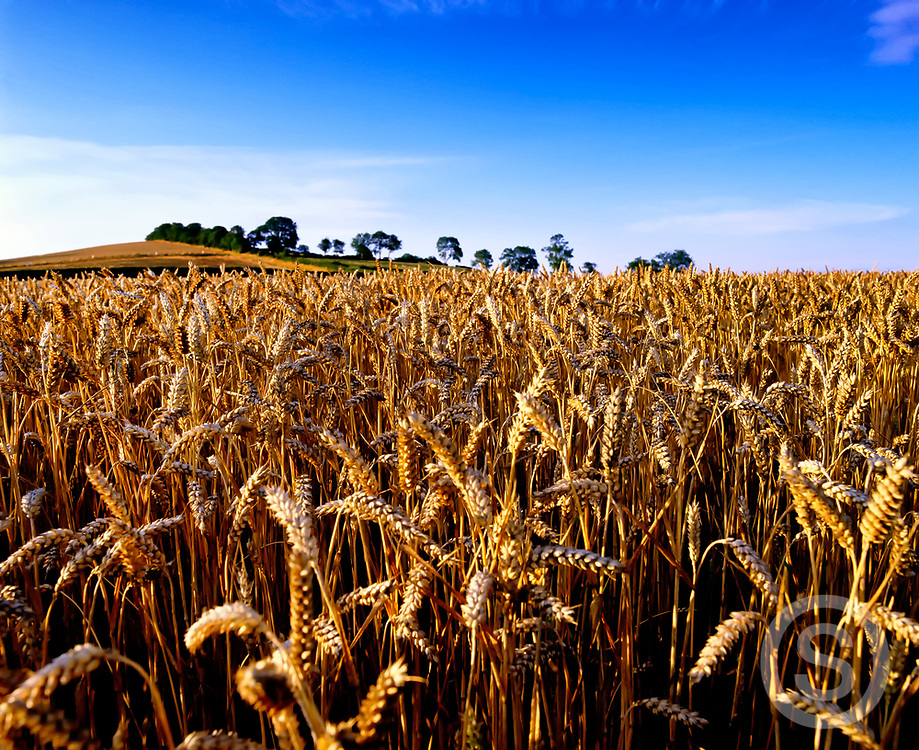 Photographer: Chris Hill, Wheat field, Seaforde, County Down