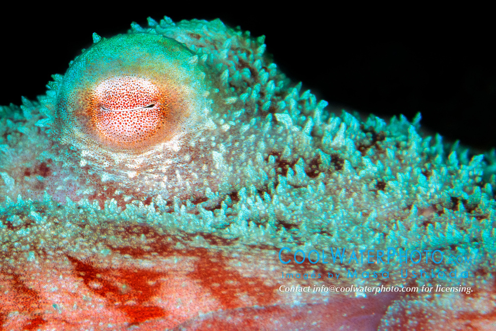 eye of Caribbean reef octopus, Octopus briareus, Cayman Brac, Atlantic Ocean