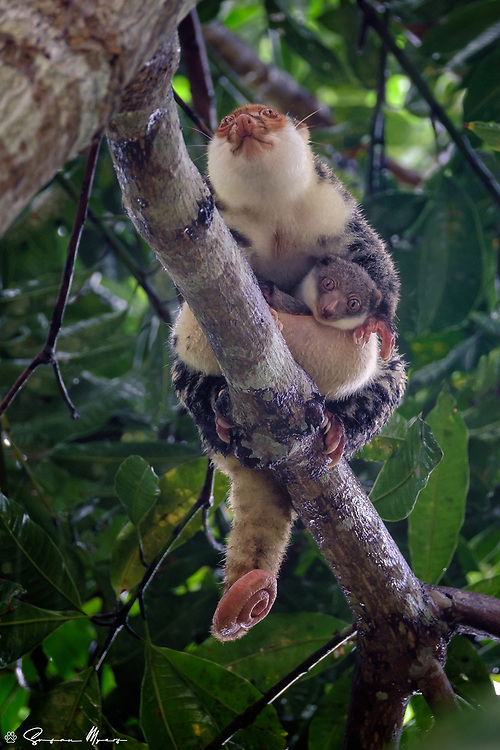 The Waigeou Cuscus is a species of marsupial in the family Phalangeridae. It is endemic to the island of Waigeo in Indonesia. Both males and females are whitish with black spots. It remains fairly common, but its small range makes it vulnerable to habitat loss and hunting.