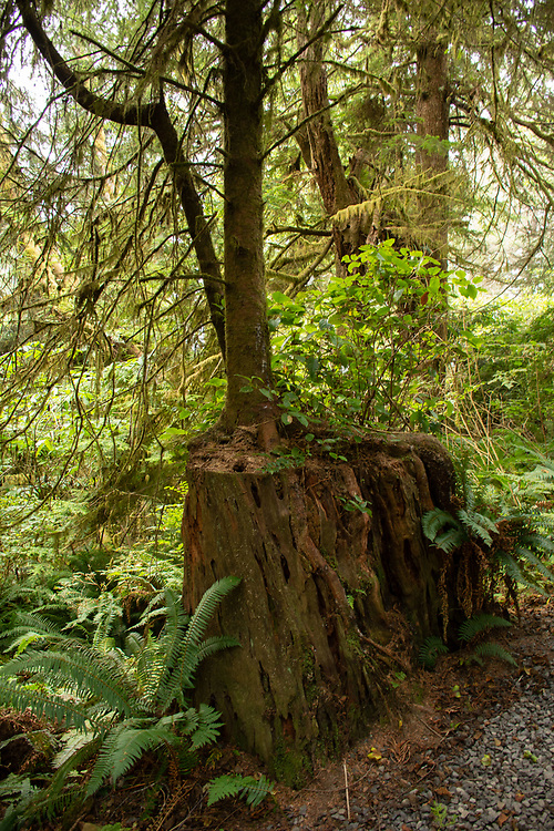 Western Red Cedar Nurse Stumps a Western Hemlock Tree, Kalaloch Beach 4, Olympic National Park, Washington, US