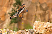 Lesser kestrel (falco naumanni). This species breeds from the Mediterranean across southern central Asia to China and Mongolia. It is a summer migrant, wintering in Africa, Photographed in Israel