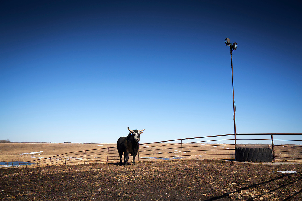 Lane Skori and his rodeo bull Minion Stuart near Kinesella, Alberta, Canada, March 20, 2017. Photograph by Todd Korol/Globe and Mail